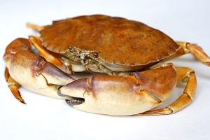 stone_crab11